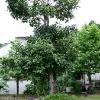 多羅葉の木