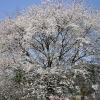 境内にある桜