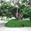 樹齢一千百年の玉の木