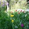 龍巣院 水仙とチューリップ