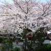 福王寺 境内の桜