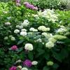極楽寺 紫陽花